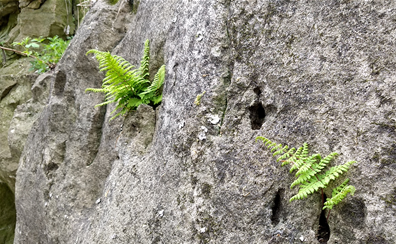 ferns growing out of rocks